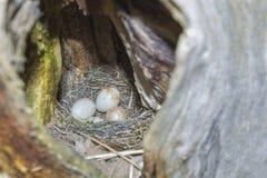 Snake egg-laying Stock Image