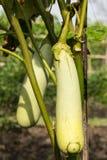 Snake eggplant on tree royalty free stock photo