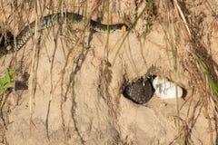 Snake eggs Stock Images