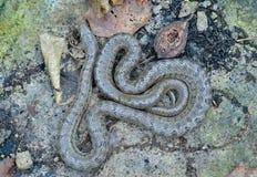 Snake (Elaphe dione) 7 royalty free stock images