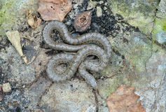 Snake (Elaphe dione) 6 Royalty Free Stock Photo