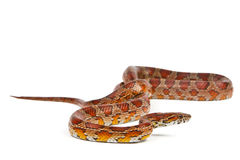 Snake. Elaphe guttata.young boa constrictor on a white background Stock Photos