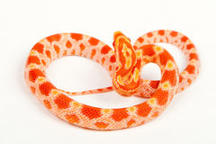 Snake. Elaphe guttata.young boa constrictor on a white background Royalty Free Stock Images
