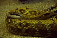 Snake. Elaphe longissima in a zoo terrarium. Snake (elaphe longissima) in a zoo terrarium Stock Photography
