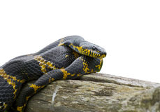 Snake (Elaphe schrenckii) 1 Royalty Free Stock Images
