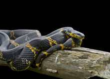 Snake (Elaphe schrenckii) 8 royalty free stock photo
