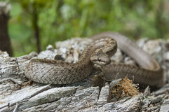 Snake. European smooth snake (Coronella austriaca) in a threatening Stock Image