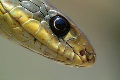 Snake Eye Royalty Free Stock Image