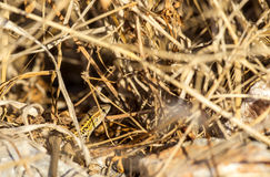 Snake Eyed Lizard. A snake-eyed lizard is hiding among dried straw stock image