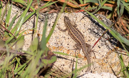 Snake Eyed Lizard. Two snake-eyed lizards are meeting on a rock Stock Photos