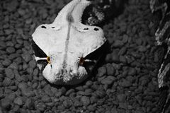 Snake Eyes. A snake in black and white with only their eyes in color stock photos