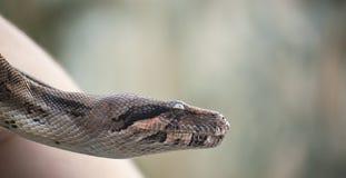 Snake eyes. A snake being handled by an animal caretaker stock photos