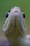 Snake eyes 2. Black and gold garter snake eyes with white mouth and neck royalty free stock photo