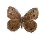 Snake Eyes butterfly butterflies. Eastphoto, tukuchina, Snake Eyes butterfly butterflies stock photo