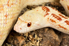 Snake eyes. Detail of the head of a beautiful female adult bullsnake stock images