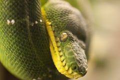 Snake Eyes. A green tree python (Morelia viridis), this macro shot focusses on the eyes of this large snake stock image