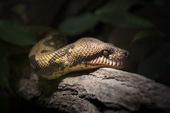 Snake face on wood. Danger in wild nature for traveleres Stock Images
