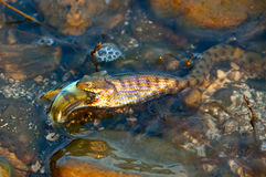Snake Feast. A snake feeding on fish Stock Images