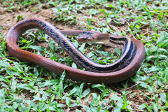 The Snake fighting,Copper-headed Racer. Royalty Free Stock Photos