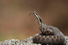 Snake flicking its tongue Stock Photos