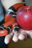 Snake and forbidden fruit Royalty Free Stock Photography