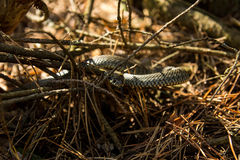 Snake in the forest Stock Images