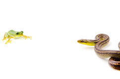 Snake and frog Stock Photography