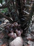 Snake fruit growing beautiful result stock image