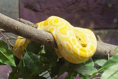 Snake,Golden Thai Python Royalty Free Stock Image