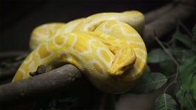 Snake, Golden Thai Python slithers on the tree stock footage