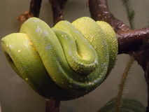 Snake. A gorgeous coiled snake with water droplets on it at the Toronto Zoo in Canada Stock Photography