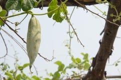 Snake gourd on a vine Stock Image