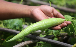 Snake gourds Royalty Free Stock Image