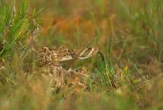 Snake in the Grass Stock Photos