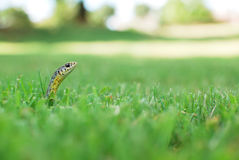 Snake in the Grass. A snake pops its head up out of a sea of green grass Stock Image