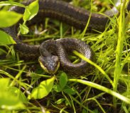 Snake in a grass Royalty Free Stock Photo
