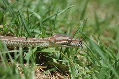 Snake in the grass Stock Images
