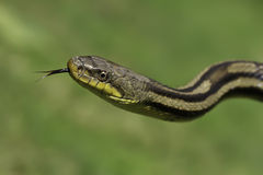 Snake in the grass Stock Photo