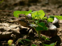 Snake in the Grass. Water Snake Stock Image