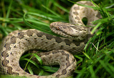 Snake in grass. Coper head snakein grass, Central Asia stock images