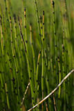 Snake Grass. /horsetail/scouring rushes in shallow depth of field Royalty Free Stock Image