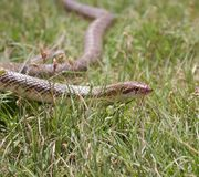 Snake on the grass. Baby snake on the grass royalty free stock photo