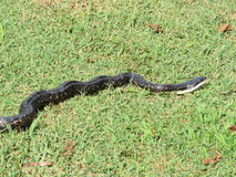 Black Snake in the Grass Royalty Free Stock Photography