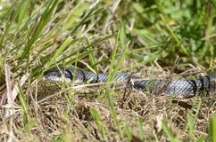 Snake in the grass, Black Ratsnake, Georgia USA. Black Rat Snake, Pantherophis obsoletus, slithering in the grass. Photographed near a pond in Monroe, Walton Stock Images