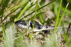 Snake in the grass, Black Ratsnake, Georgia USA. Black Rat Snake, Pantherophis obsoletus, slithering in the grass. Photographed near a pond in Monroe, Walton Royalty Free Stock Photography