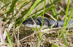 Snake in the grass, Black Ratsnake, Georgia USA. Black Rat Snake, Pantherophis obsoletus, slithering in the grass. Photographed near a pond in Monroe, Walton Royalty Free Stock Images