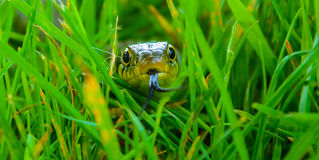 Snake in Grass Royalty Free Stock Photos