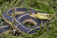 Snake in the grass Royalty Free Stock Image