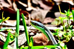 Snake in the Grass 1 Royalty Free Stock Photography