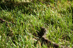 Snake in the Grass Royalty Free Stock Photos